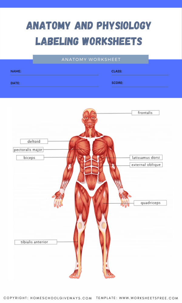 anatomy and physiology labeling worksheets 3