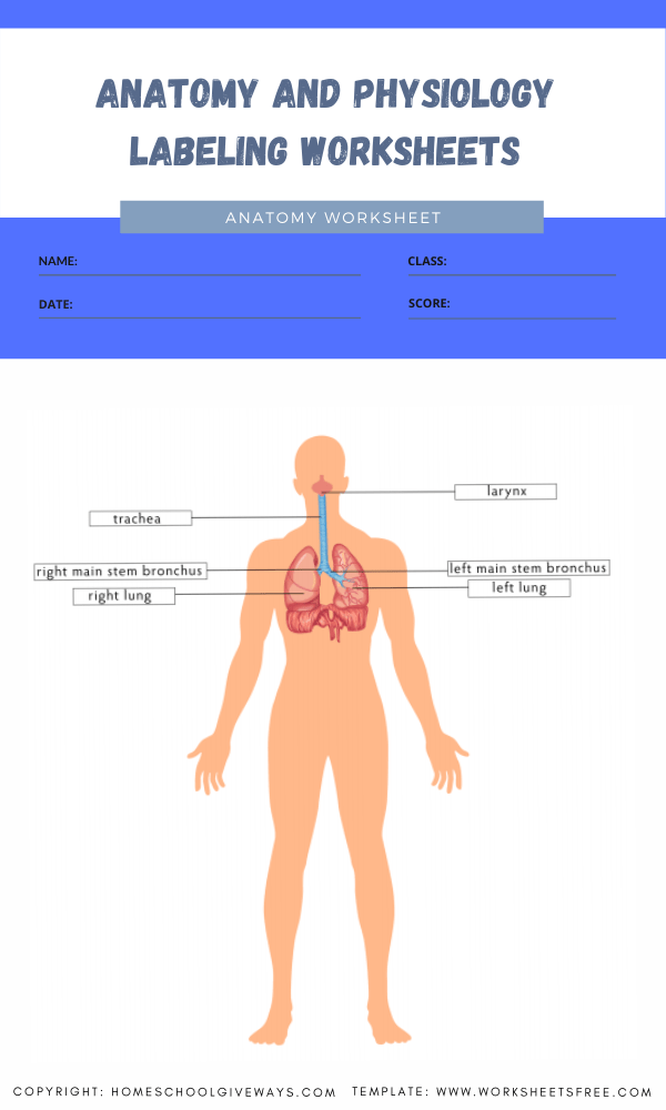 anatomy and physiology labeling worksheets 7