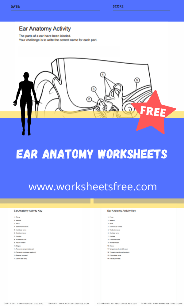 ear anatomy worksheets