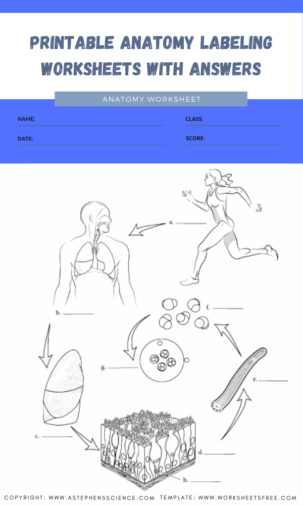 printable anatomy labeling worksheets with answers 3