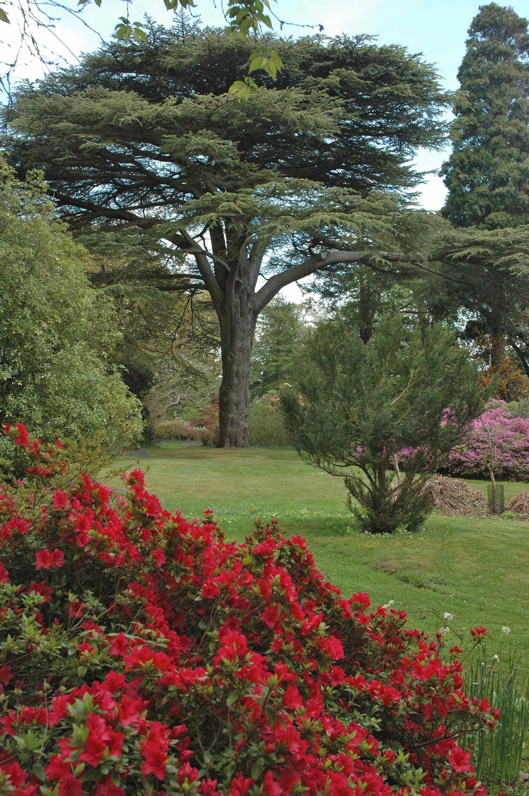Cedar of Lebanon in garden