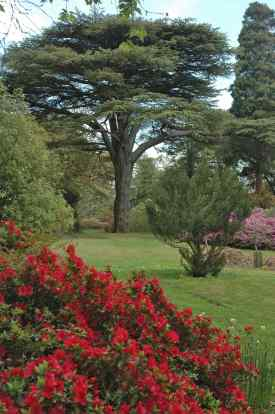 Cedar of Lebanon in garden