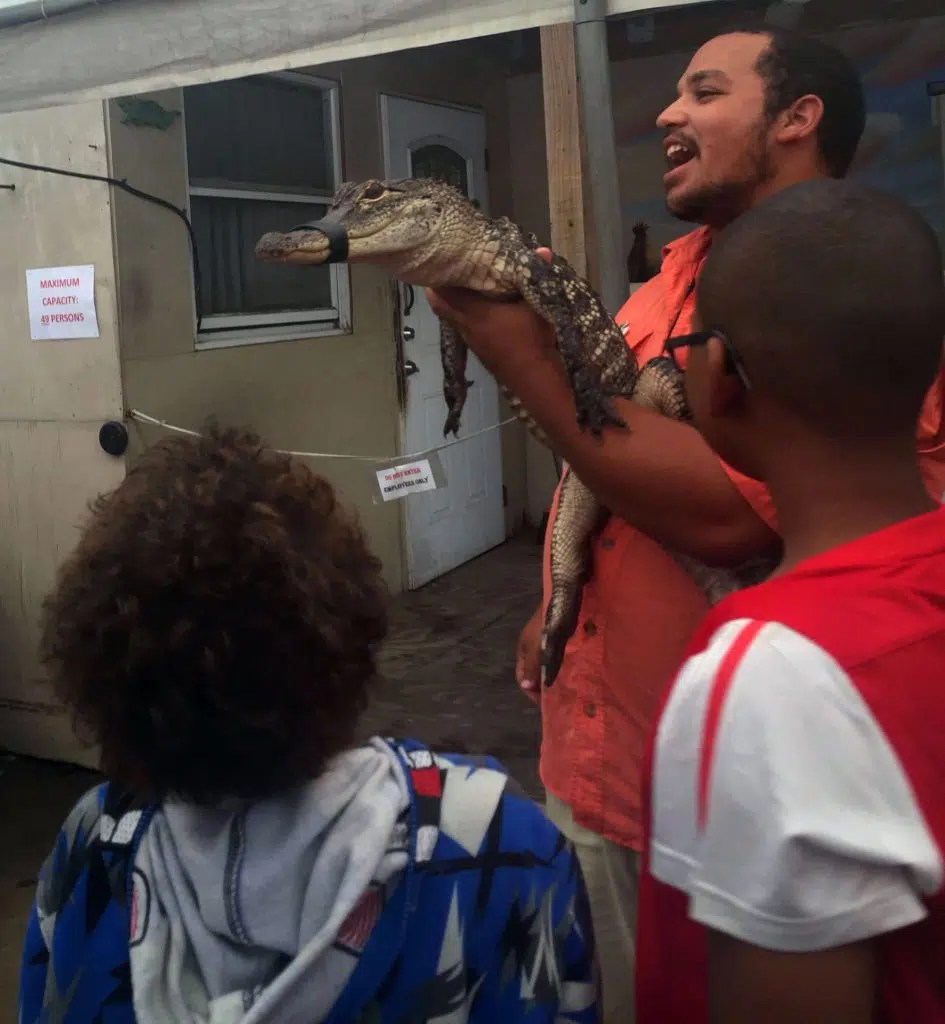 Getting up close with some of the younger gators.