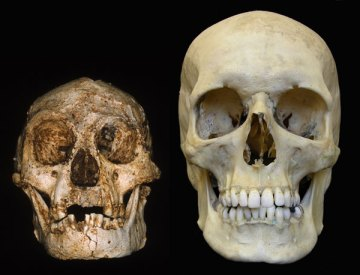 An example of a Homo floresiensis skull alongside that of a - considerably larger - modern human.