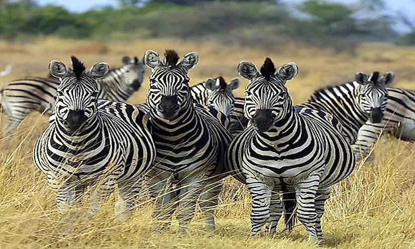 Interesting Facts About Zebras  WorldAtlascom