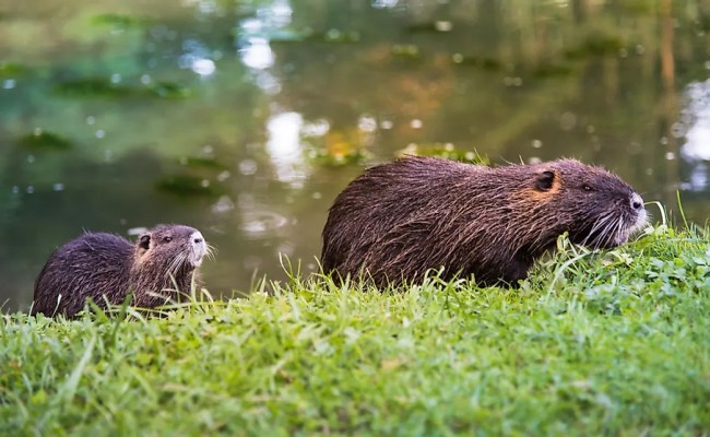 Are Rodents Mammals Worldatlas