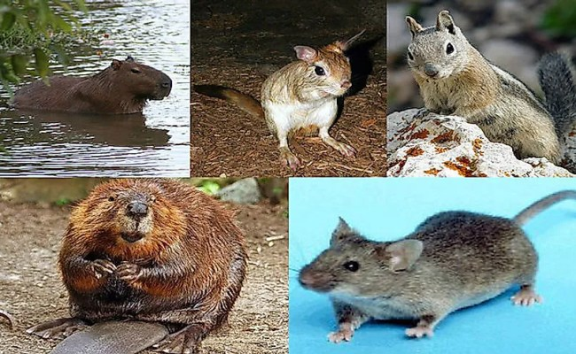 What Are Rodents Worldatlas