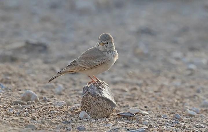 Cotovia do deserto