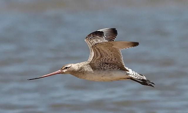 #9  Bar-tailed godwit - 20,000 feet