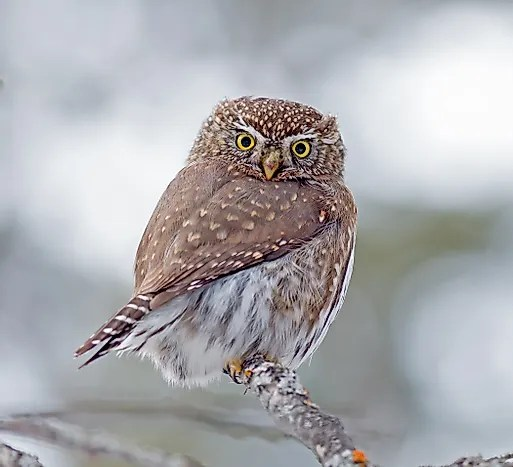 northern pygmy owl facts