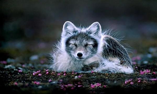What Animals Live In The Tundra WorldAtlascom
