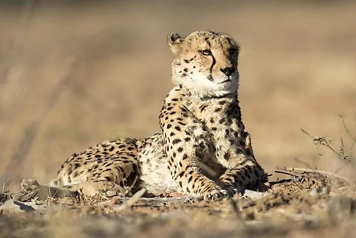 # 2 Saharan Cheetah