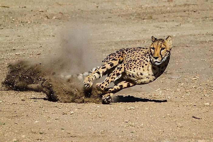 cheetah population worldwide important