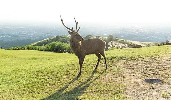 # 4 Sika Deer