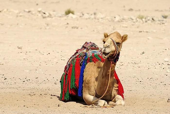 # 4 camelos dromedários e Goata