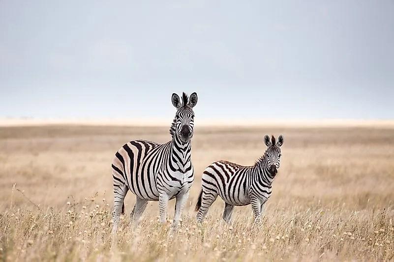 # 5 Zebra