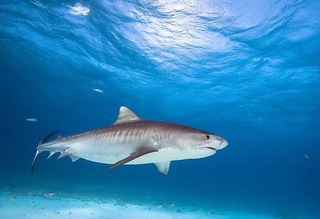 #4 Tiger shark