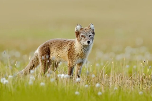 #6 Arctic Fox