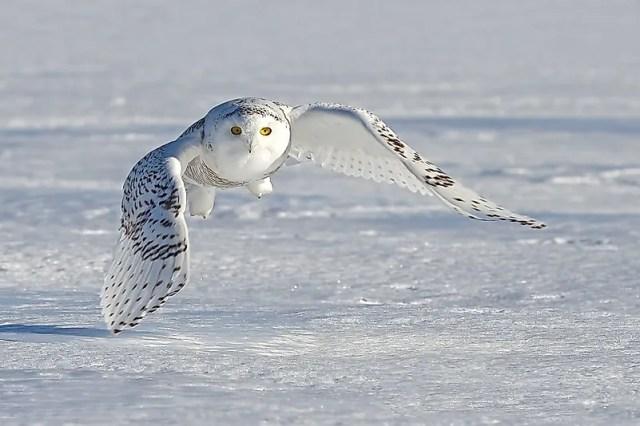 #4 Snowy Owl