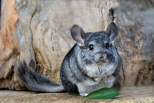 #13 Chinchillas