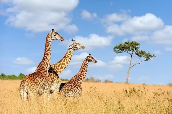 # 10 Girafa