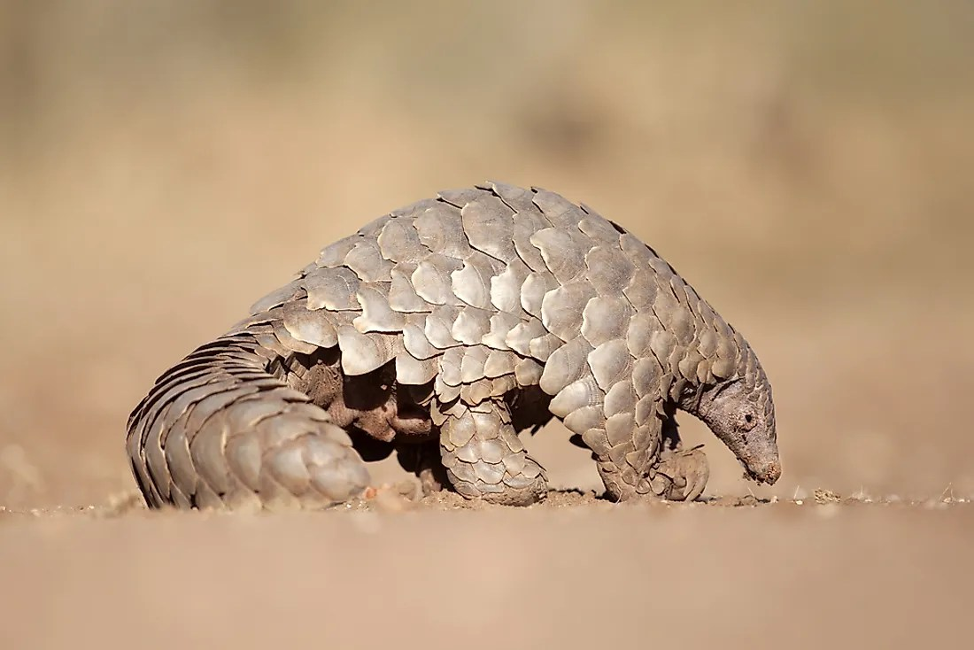 pangolins what are they