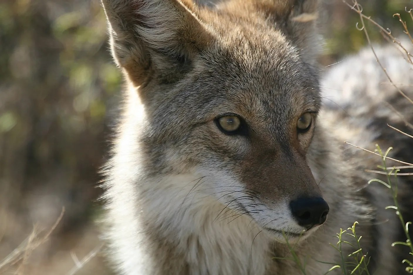 Coyote Facts Animals Of North America