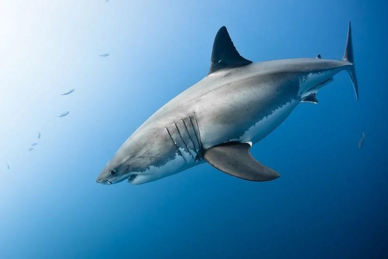 3. dünyanın en büyük balığı.