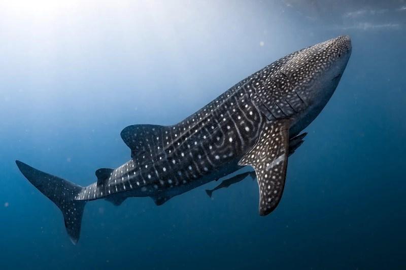 Bir balina köpekbalığı, dünyanın en büyük balığı.