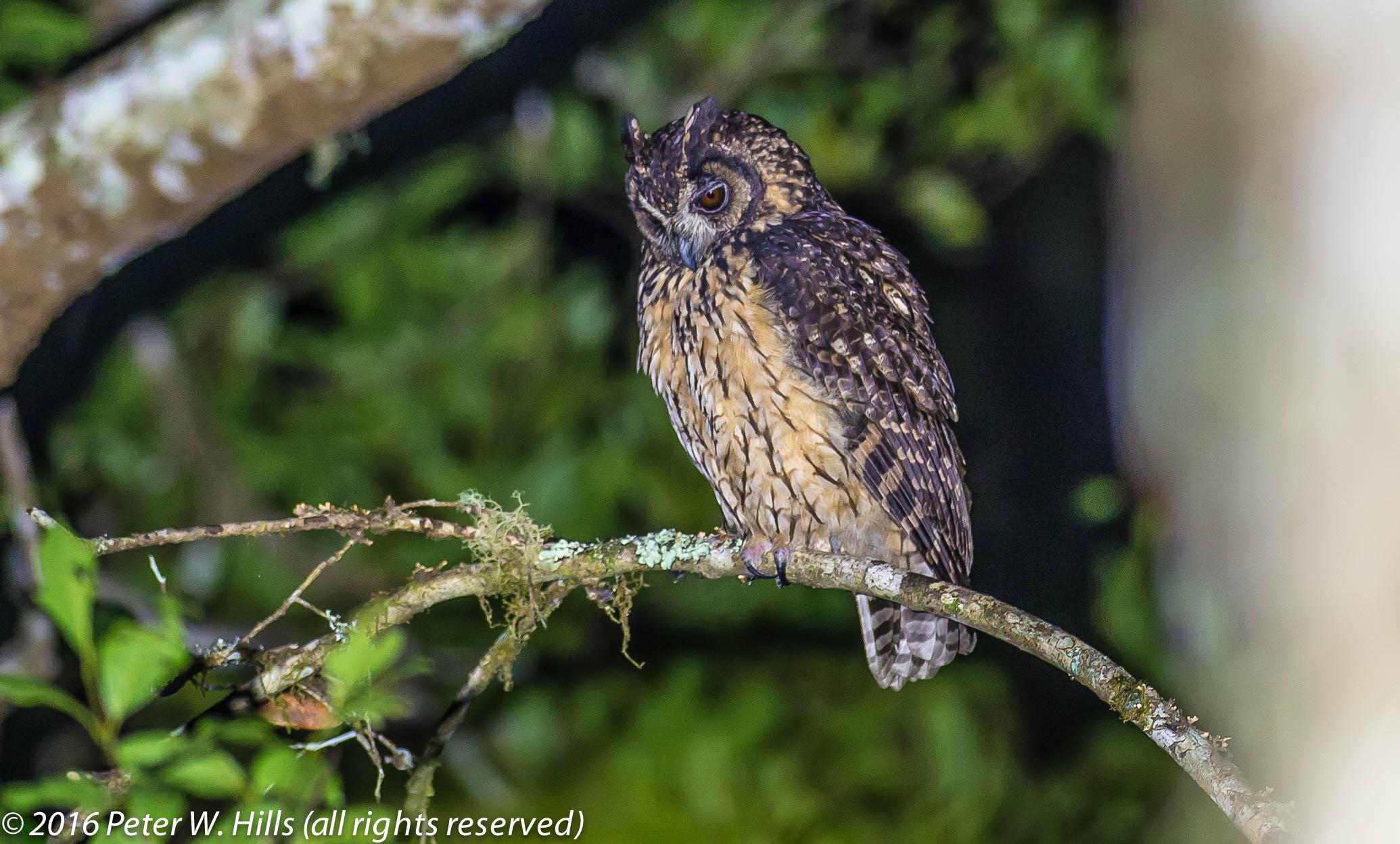 Owl Madagascar Asio Madagascariensis Endemic