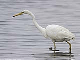 Great White Egret photographs by Steve Oakes