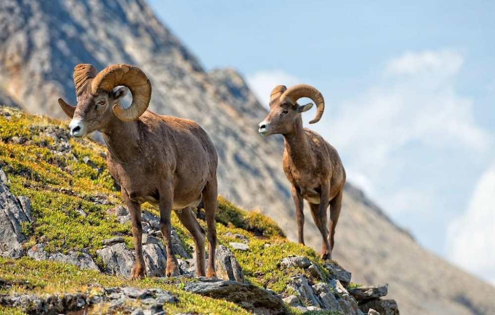 two rams on the field