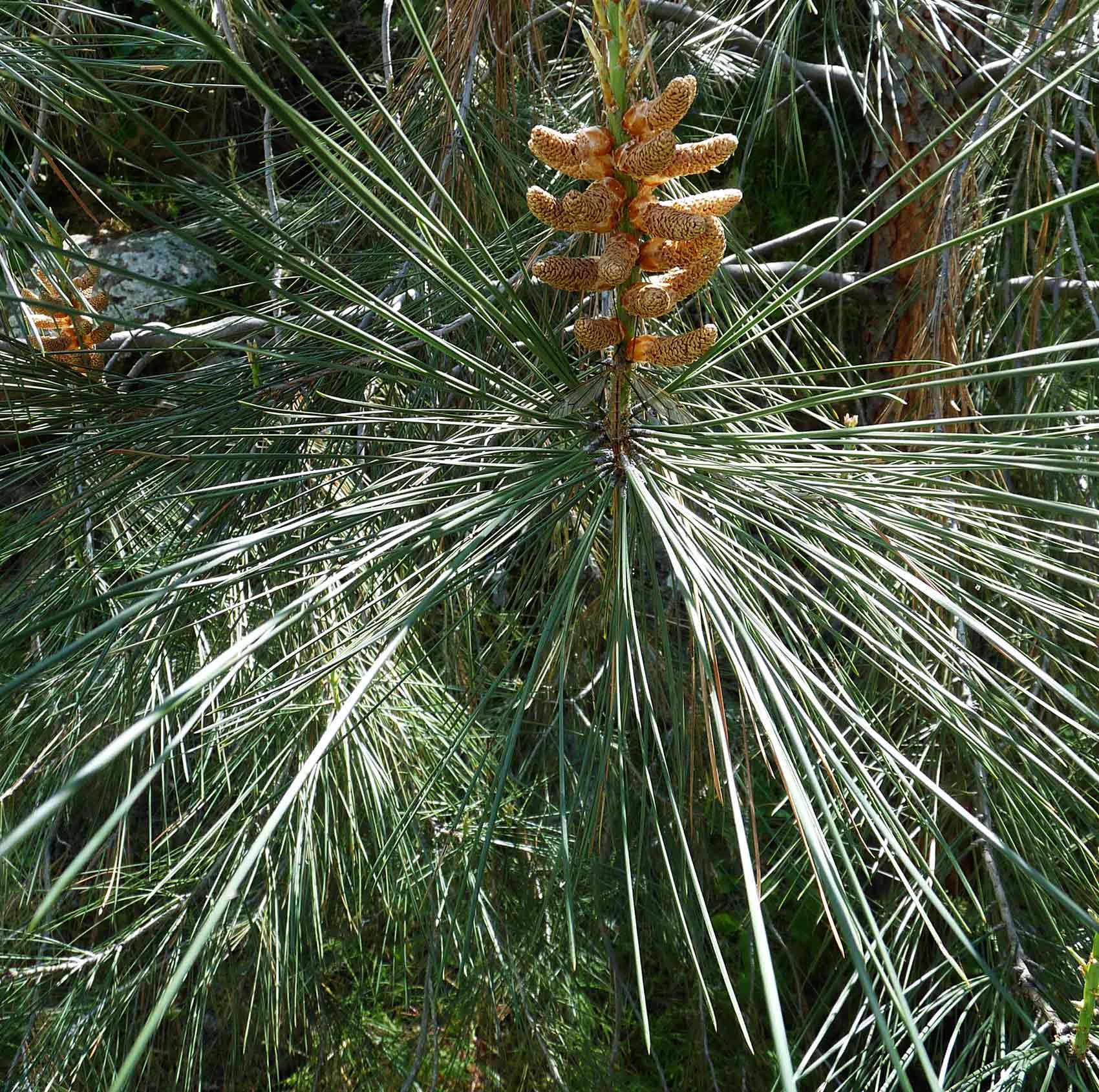 Western White Pine Needles