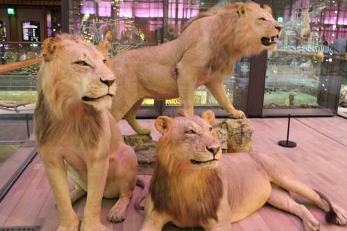 Lwy i tygrysy, Wielka Galeria Ewolucji w Paryżu