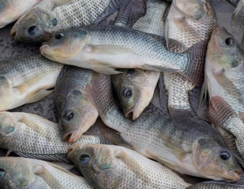 Image result for Tilapia Fish or any fish of choice.