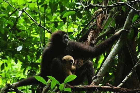 Gibbon Rehabilitation Project Phuket