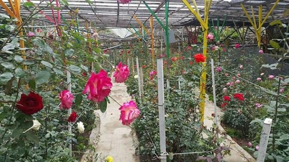 Rose Centre Cameron