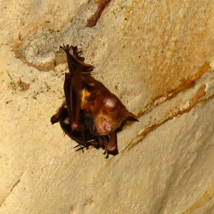 a-u-bagly_hipposideros-diadema-with-pup_cave-roost-mulu-bat