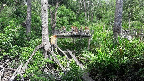 Labuk Bay Proboscia Monkey Santuary