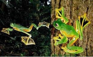 Wallace Flying Frog