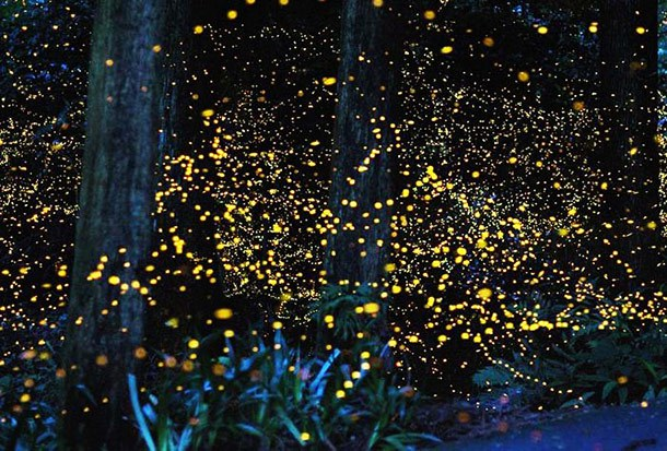 Sungai Timun Fireflies