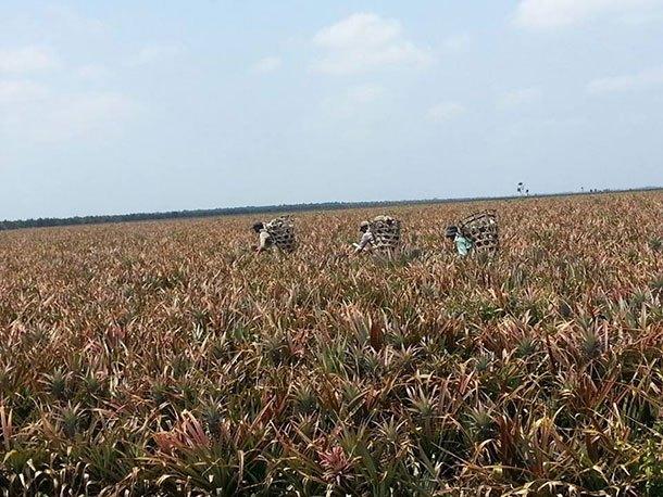 Ladang Nanas (Kg Parit Tengah)