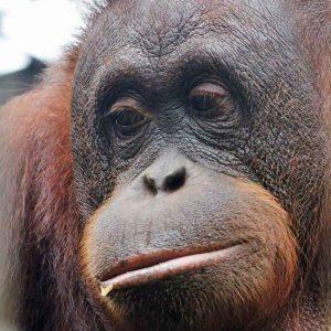 Meeting Borneo's Majestic Orangutans