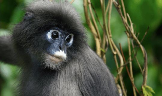Dusk Leaf Monkey