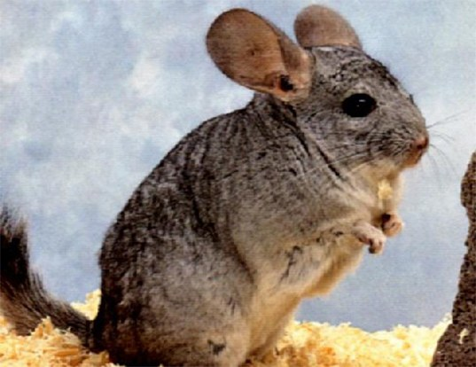LONGTAILED CHINCHILLA LIFE EXPECTANCY