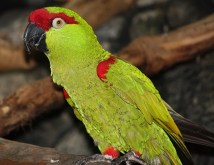 BLUEHEADED PARROT LIFE EXPECTANCY