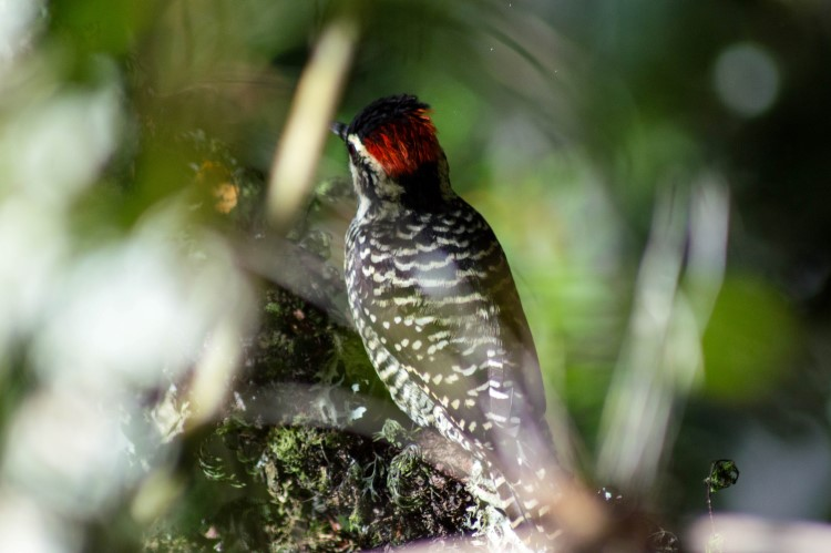 A Magellanic woodpecker spotted in Patagonia.