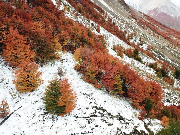 Lenga trees in fall in Patagonia.