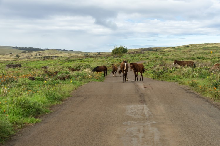 Horses on the road towards Ahu Tongariki on a visit to Easter Island, Chile