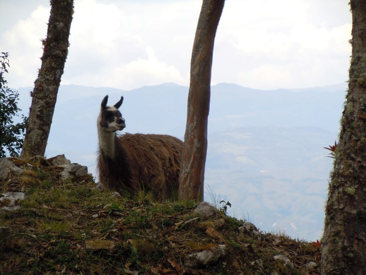 A llama in the ruins of the stone citadel of Kuelap near Chachapoyas Peru